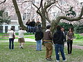 U Wash Quad cherry blossoms 08.jpg