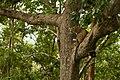 Uday Kiran Leopard BR Hills-10.jpg