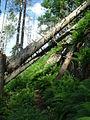Umgestürzte Bäume am Alpinen Pfad.JPG
