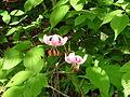 Unbekannte Blume Hochgern 27062006.JPG