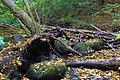 Uprooted tree over stream.jpg