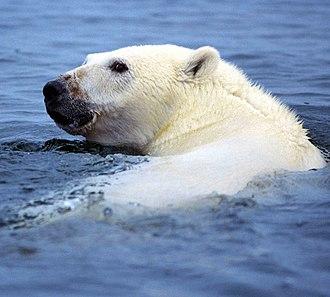 Marine mammal - A polar bear (Ursus maritimus), a member of family Ursidae.