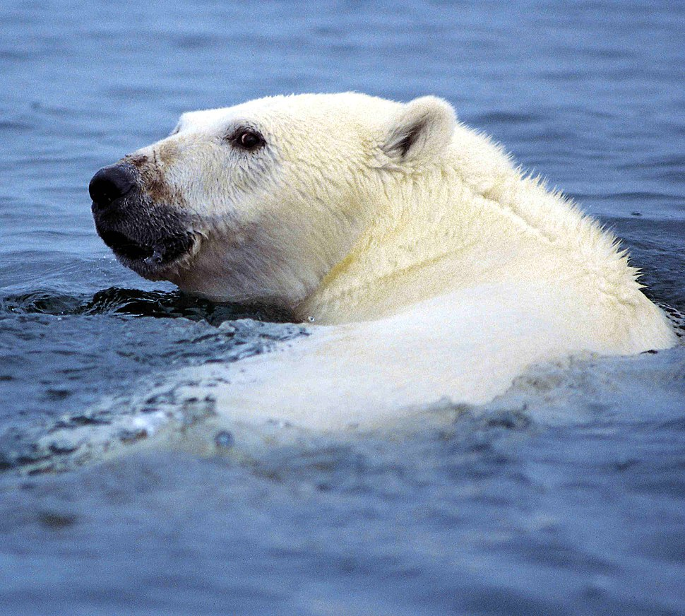 A white polar bear's head popping out of the water, with a black snout and eyes