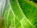 Urtica dioica (Nettle) lower epidermis with stings. X20.jpg