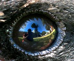 User 99of9 reflected in Australian Magpie eye.jpg