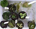 Utricularias.jpg