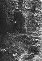 Värmland. Jösse hd. Mangskog sn. Bjurbäcken. Huggning av små granar till gärdesgårdsband, sveg - Nordiska museet - NMA.0079014.jpg