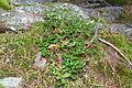 Vaccinium vitis-idaea (8016810987).jpg