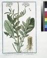 Valeriana hortensis, foliis partim integris, partim disectis, floribus candidis, odorata radice - Valeriana maggiore - Grand Valeriane (NYPL b14444147-1125046).tiff