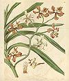 Vanda concolor (as Vanda roxburghii var. unicolor) - Curtis' 62 (N.S. 9) pl. 3416 (1835).jpg