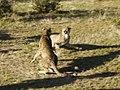 Vechtende cheetah's (6521898465).jpg
