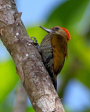 Red-stained woodpecker - A male red-stained woodpecker at Iranduba, Amazonas state, Brazil