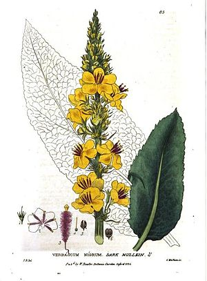 William Baxter (Oxford Botanic Garden curator) - Verbascum nigrum L.
