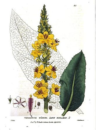 William Baxter (Oxford Botanic Garden curator) - Verbascum nigrum L.