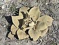 Verbascum sp - Sığırkuyruğu, Kartaldağı 02.jpg