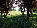 Verblühende Tulpen (5886269918).jpg
