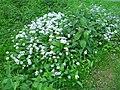 Verge flowers 6a.JPG