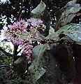 Vernonia arborea 10.JPG