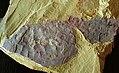 Vetulicola longbaoshanensis 1.jpg