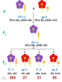 Vi. Linked genes.Thí nghiệm của Bateson, Saunders & Punnett.png