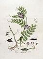 Vicia sepium — Flora Batava — Volume v4.jpg
