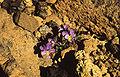 Viola cheiranthifolia1.jpg
