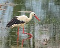 Vit Stork White Stork (14339377730).jpg