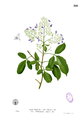 Vitex trifolia Blanco1.226.png