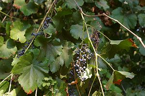 Vitis - Vitis californica with fruit