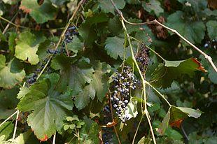 <em>Vitis californica</em> with fruit