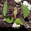 Vitis vinifera sproutling 2.jpg