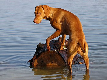 English: a picture of a vizsla