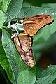 Vlinder (36152239440).jpg
