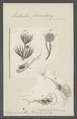 Vorticella flosculosa - - Print - Iconographia Zoologica - Special Collections University of Amsterdam - UBAINV0274 113 19 0033.tif