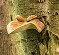 Waaierbuisjeszwam (Polyporus varius) op een dode lijsterbes (Sorbus). Locatie. Natuurterrein De Famberhorst. 08-07-2019. (d.j.b). 05.jpg