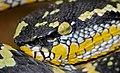 Wagler's Palm Viper (Tropidolaemus wagleri) (8735136017).jpg