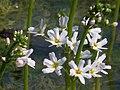 Water Violet (Hottonia palustris) - geograph.org.uk - 1264275.jpg