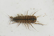 Waterlouse (Asellus aquaticus).jpg