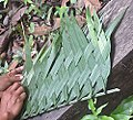 Weaving with Phytelephas fronds (19167330314).jpg