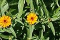 Wedelia trilobata 2zz.jpg