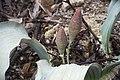 Welwitschia mirabilis - femelles - dans la Forêt Pétrifiée du Damaraland.jpg