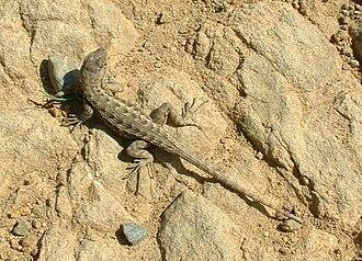 Spiny lizard - Western fence lizard, Sceloporus occidentalis