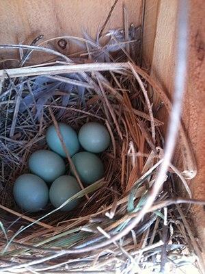 Western bluebird - A western bluebird nest in a nest box