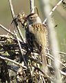 White-crowned Sparrow (1st winter) (16381741885).jpg