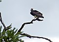 White-headed Vulture (Trigonoceps occipitalis) (13876456373).jpg