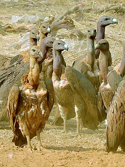 White-rumped vulture (Gyps bengalensis) Flock gathered near carcass Photograph by Shantanu Kuveskar