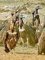 White-rumped vulture (Gyps bengalensis) Flock gathered near carcass Photograph by Shantanu Kuveskar.jpg