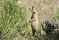 White-tailed prairie dog on Seedskadee National Wildlife Refuge (34979275622).jpg