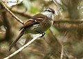 White-throated Tyrannulet (460554485).jpg