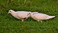 White Pigeons.jpg